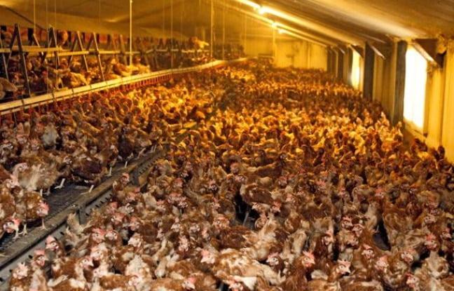 Les poules au sol