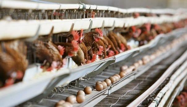 Les poules en cage