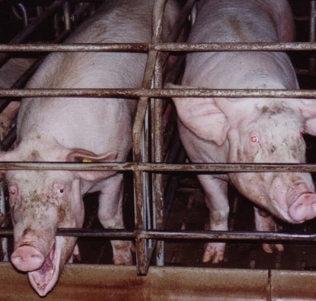 Faut-il manger de la viande : abattoirs